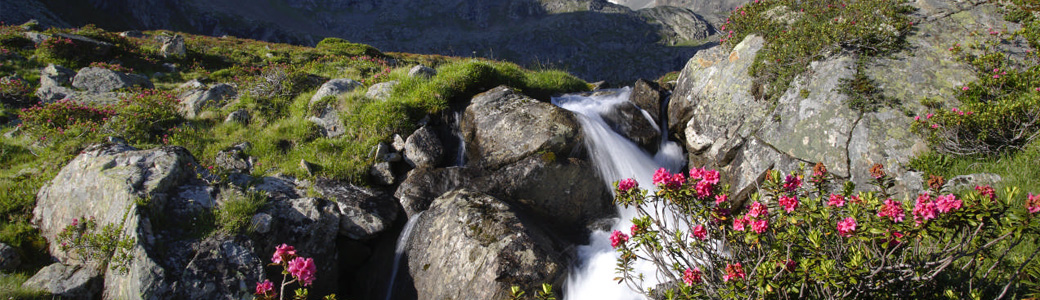 Sommer-Alpenrose
